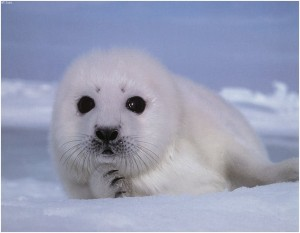 Seal (Baby)