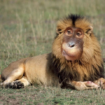 monkey-lion-photoshop