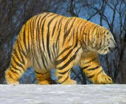 Tiger Polar Bear Photoshop
